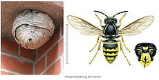 Beispielbild der Sächsischen Wespe mit Nest