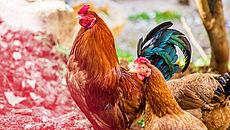 Hahn und Henne im Außenbereich